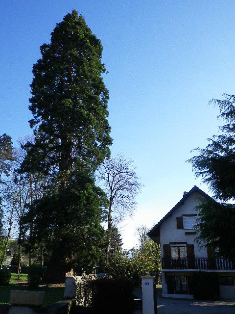 Séquoia - Frontenex